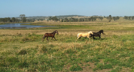 Walers running together in spacious paddock.