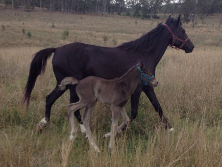 The beautiful Naryilco Rani with her beautiful silver black Waler foal Pinnacle Sterling Silver.
