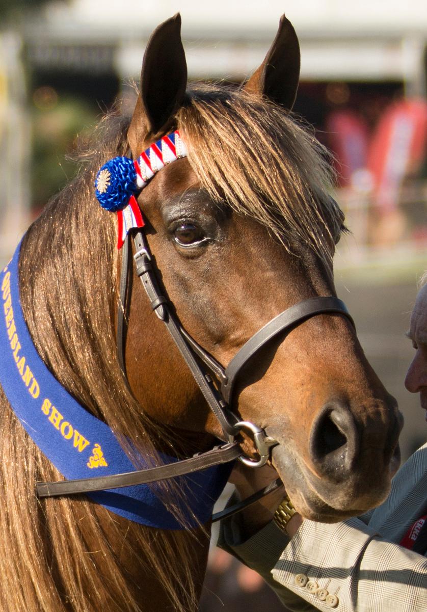Waler horse stallion BJ