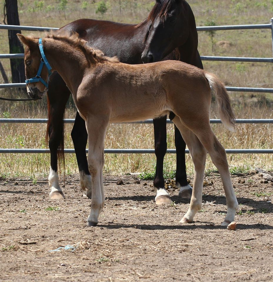 Pinnacle Sterling Silver; he's a Waler foal showing a very showy personality