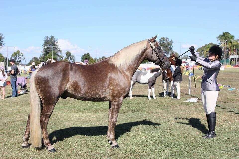 Wendara Silver Lining, Waler gelding, at Ipswich Show 2016, winning Reserve Champion Dilute after winning Best Any Other Solid Dilute in a very classy lineup
