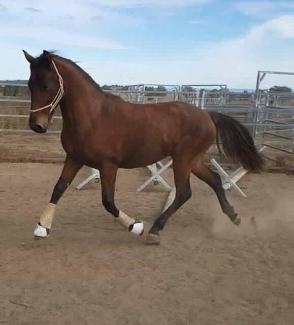 Waler colt, Trublu Trail Blazer, aka Bobby, showing us his beautiful floating movement