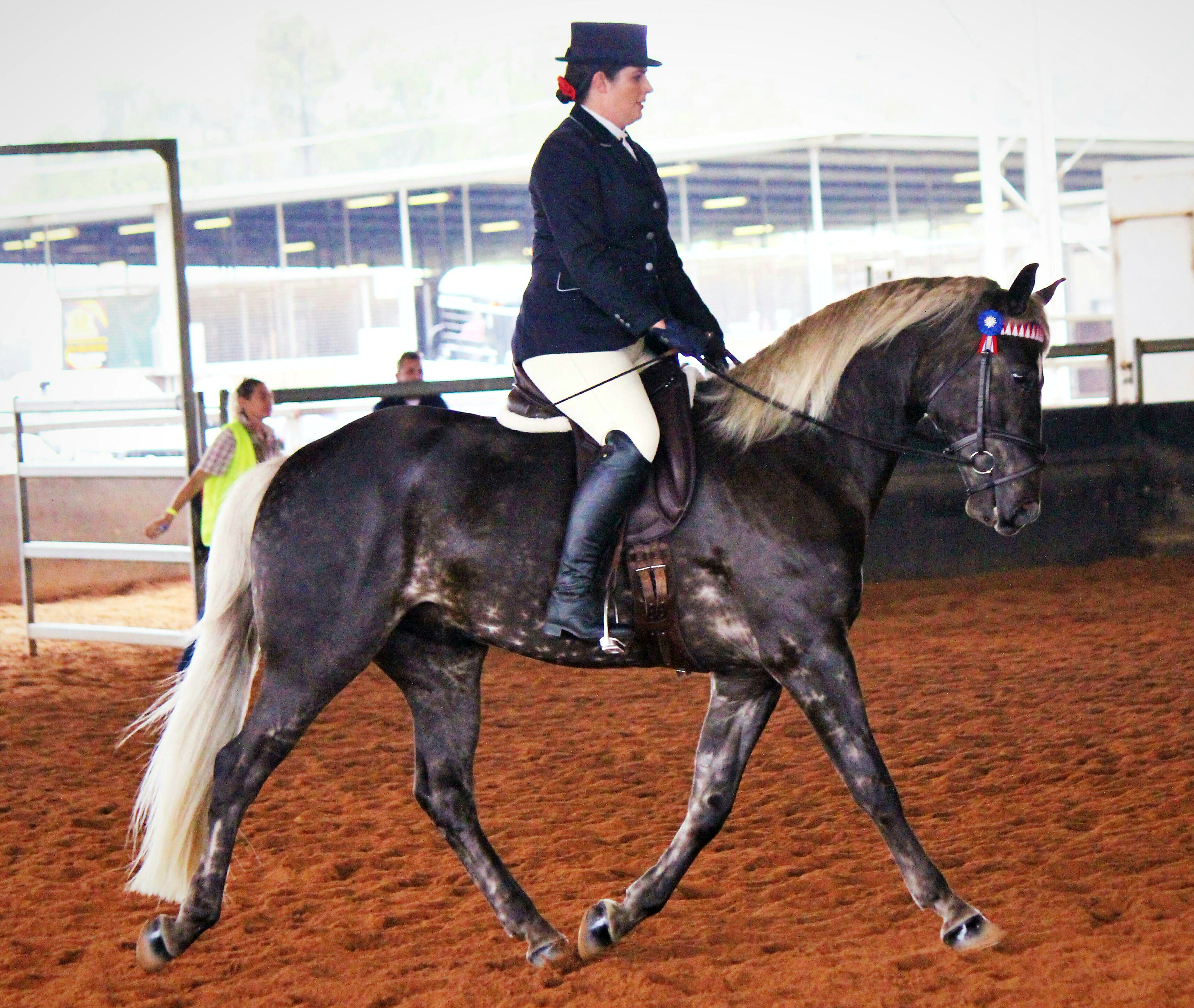 Wendara Silver Lining with Emily Wonka under saddle for the first time at the QLD Dilute Championships, where he won Champion Any Other Colour under Saddle