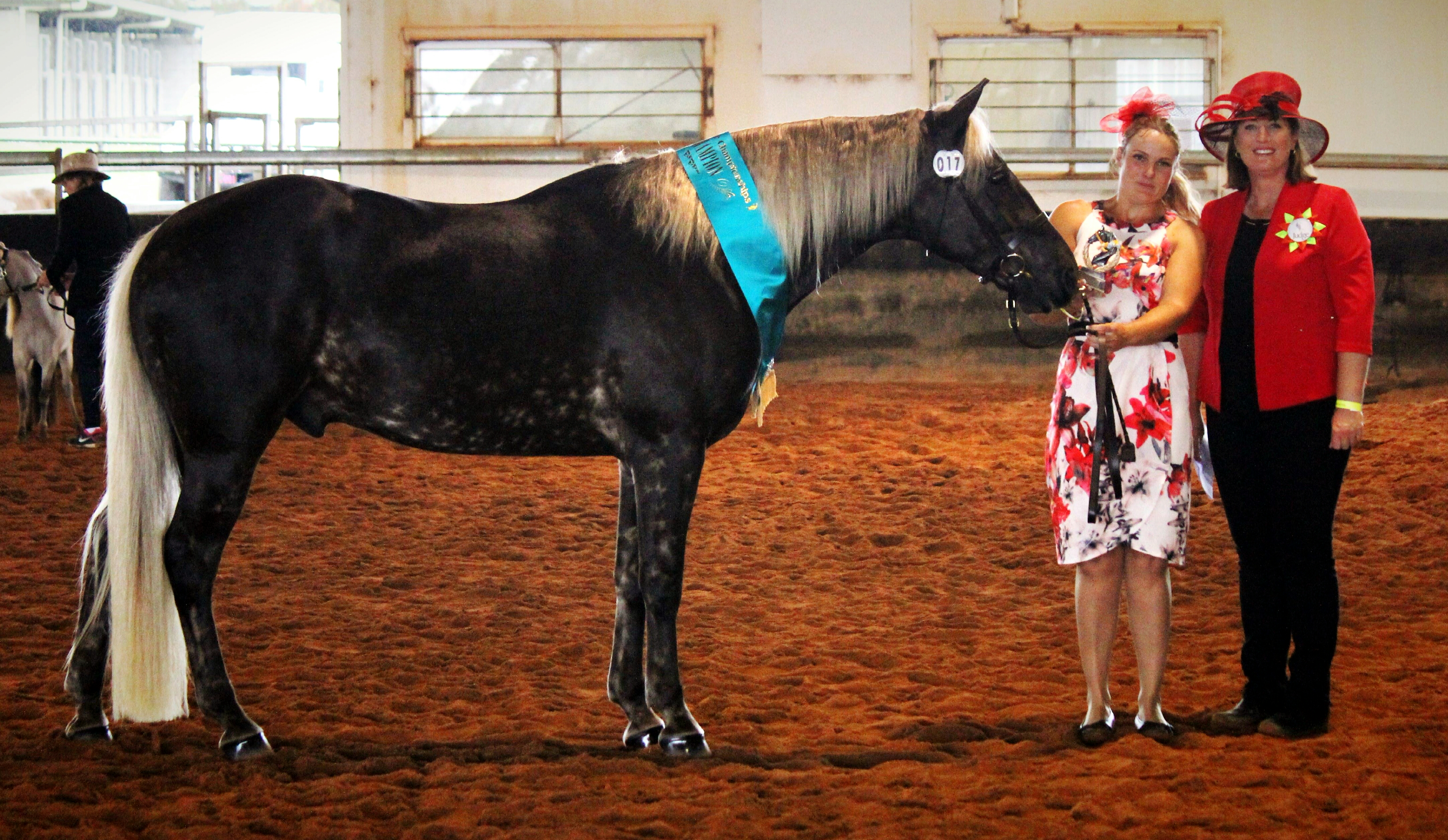 Wendara Silver Lining, Waler gelding, at QLD Dilute Championships 2016, winning Grand Champion Silver Exhibit of the Show