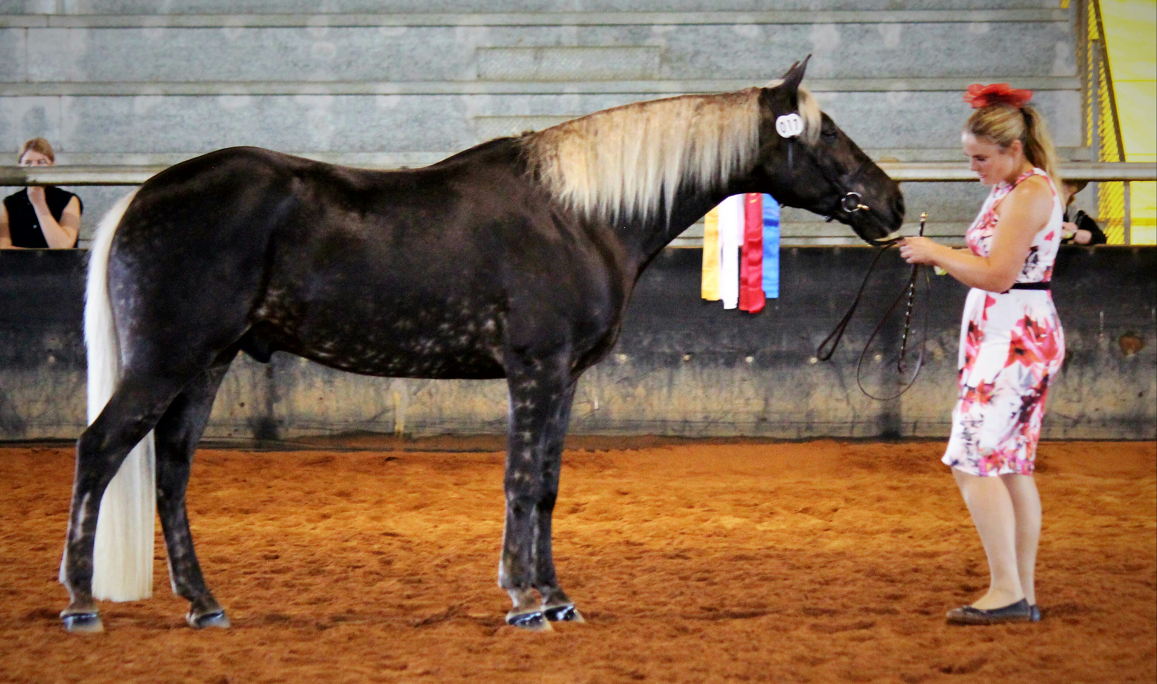 Wendara Silver Lining standing in the Grand Champion lineup at the QLD Dilute Championships