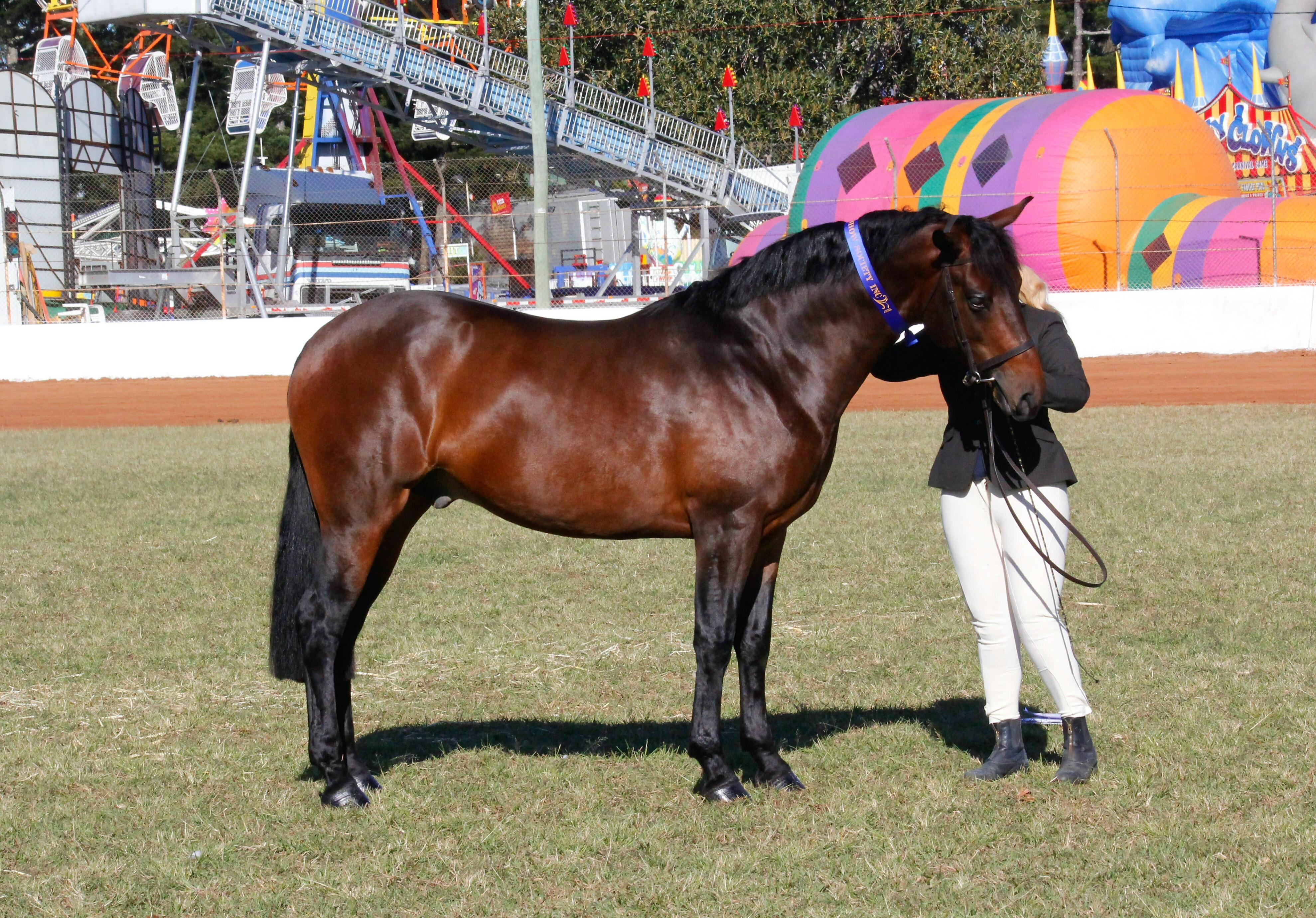 Trublu Trail Blazer, Waler colt at Gatton Show 2017, prior to winning Supreme Waler