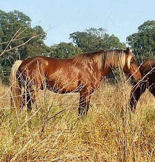 Warratah Star, Waler stallion with his gelding paddock buddy Archie, taken in October 2017