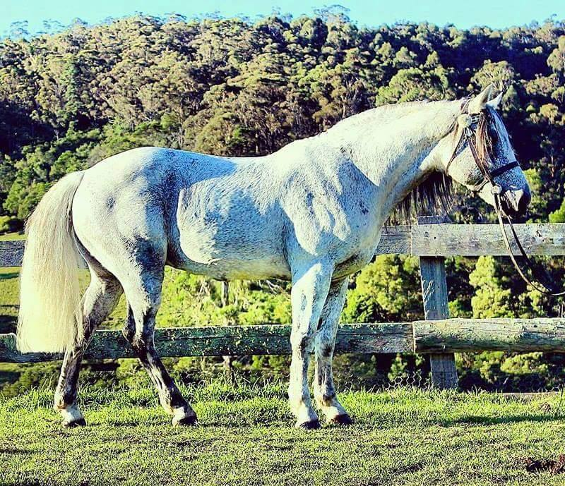 NP Fonzarelli, dual registerable heritage Waler stallion