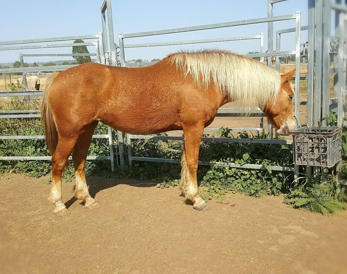 Wootton Park Kiri, dual registerable heritage Waler mare
