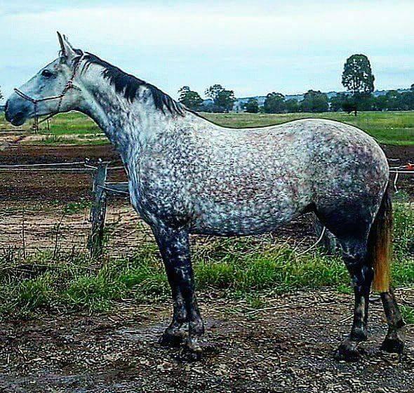 Imita Ridge Sunrise Serenade in foal to Bee
