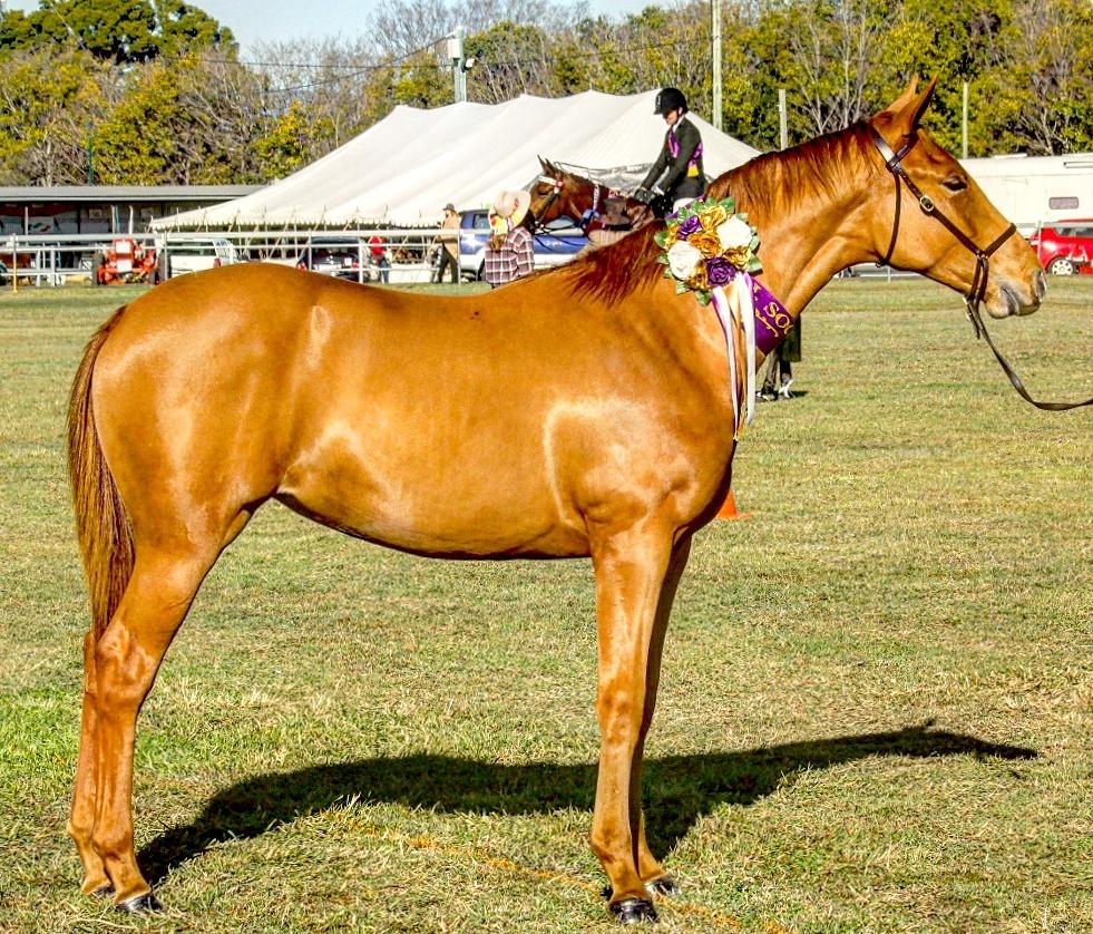 Seven month old Waler filly, Eagle Rock Terra Australis, Champion Waler at Laidley Show, Waler stallion