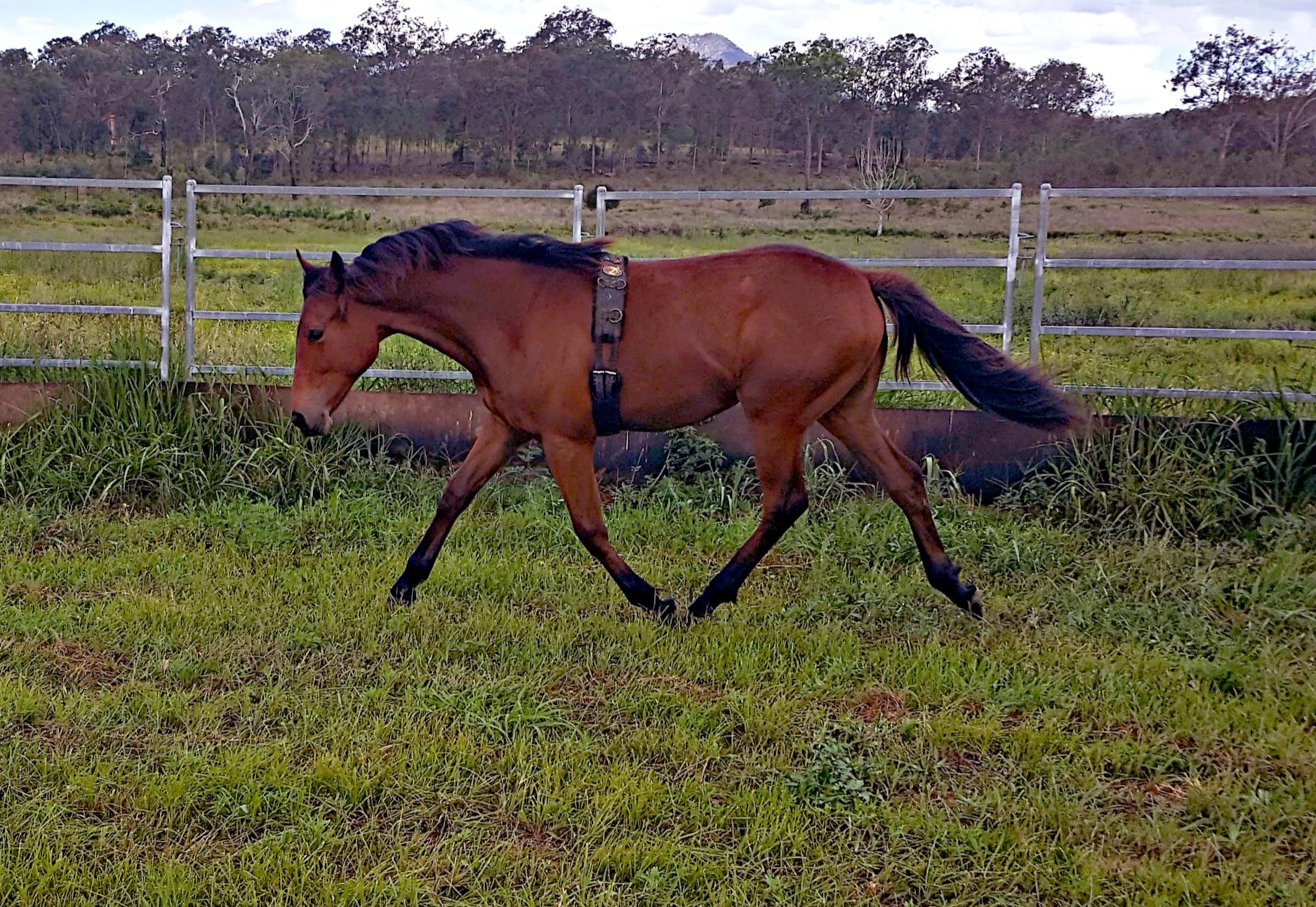 Waler foal Pinnacle Sweet Marie