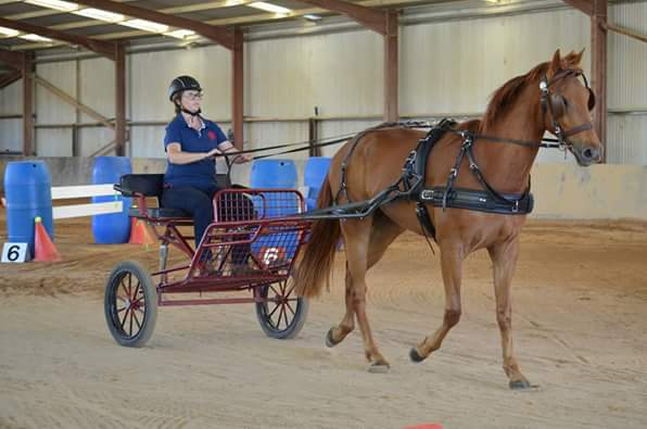 Flame, competing in harness at three years old