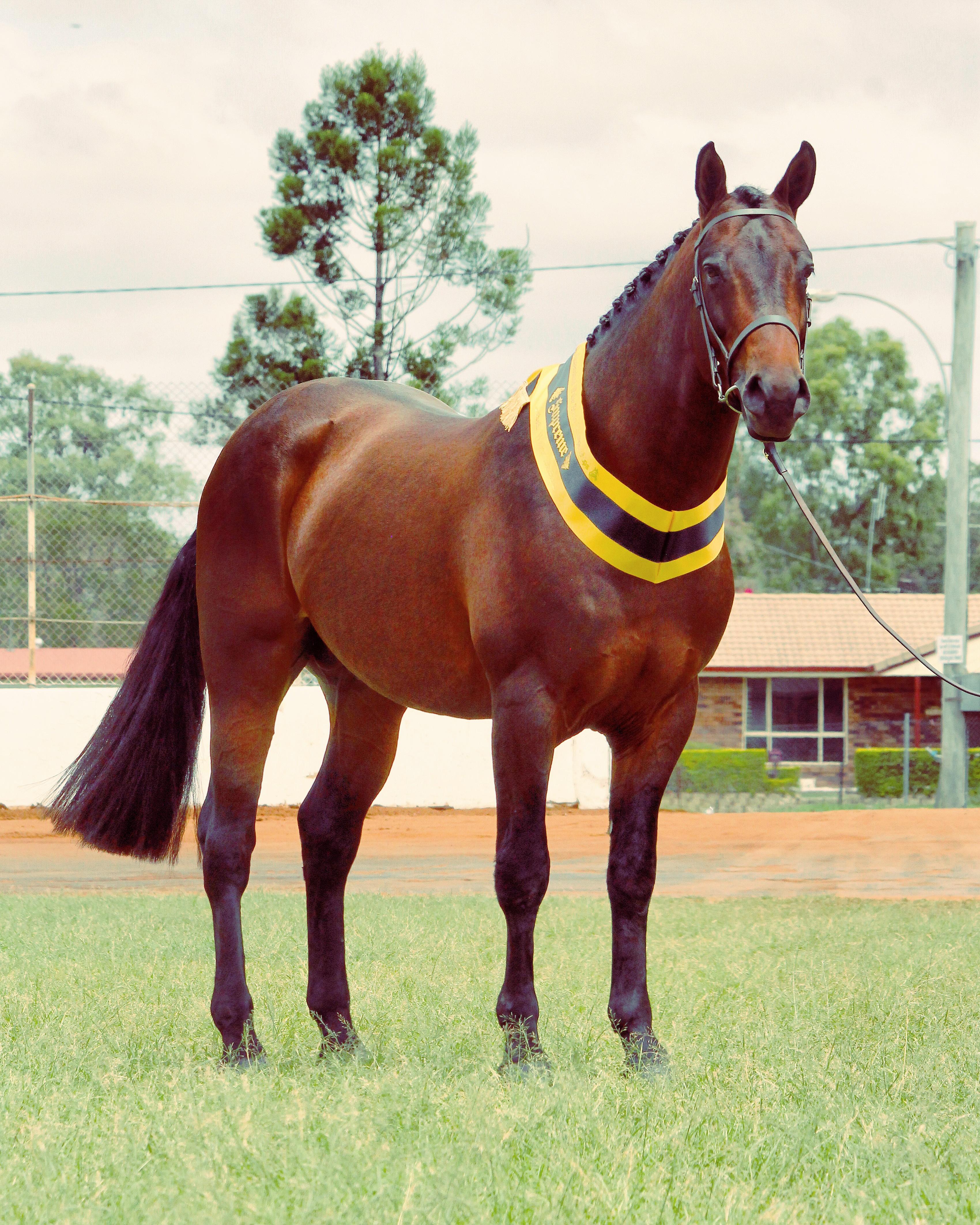 Trublu Trail Blazer, Waler colt at the Waler Championships 2017