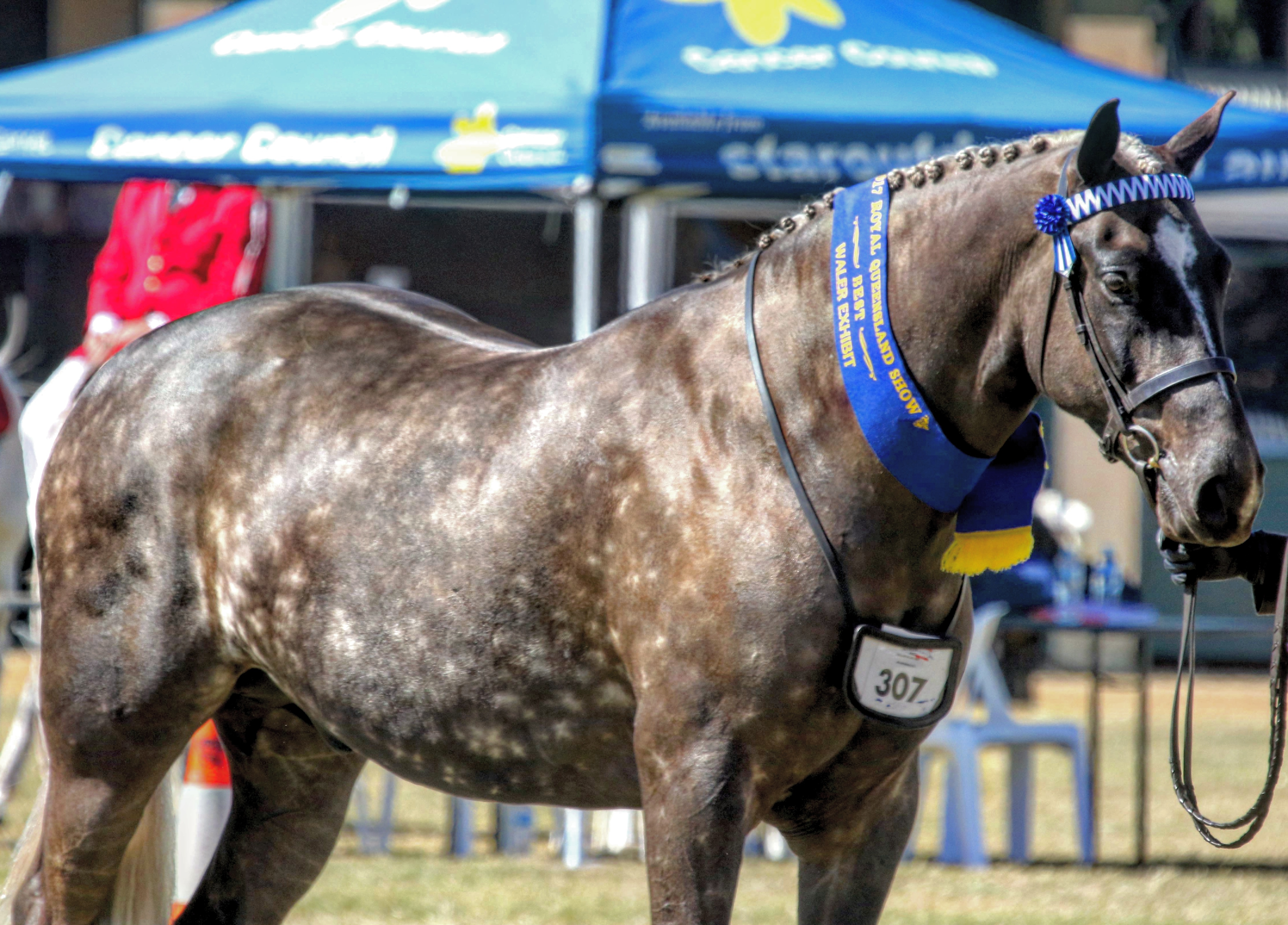 Wendara Silver Lining, Waler gelding, at the Queensland Royal 2017, led by Emily Wonka