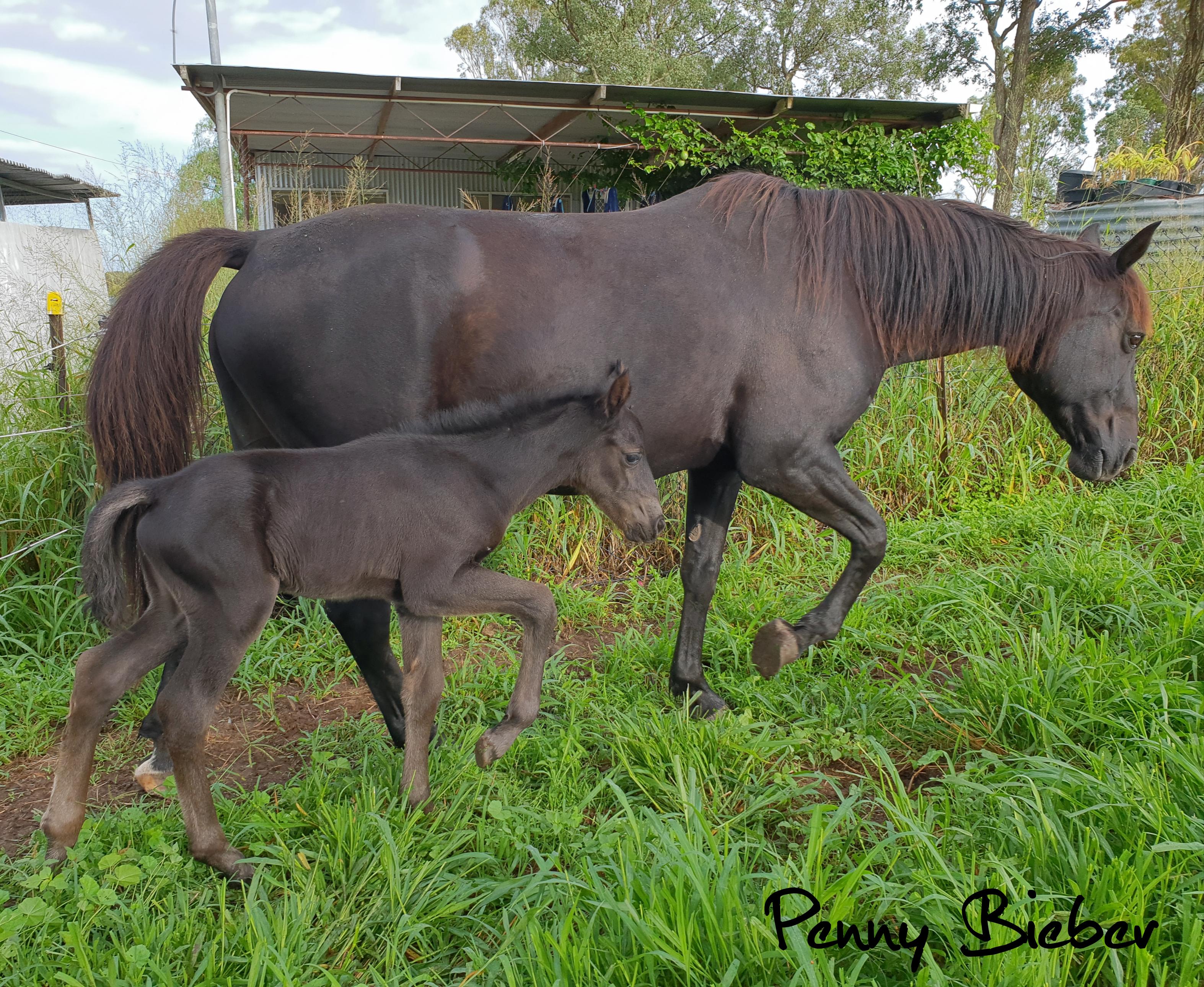 Waler foal filly Pinnacle Santana Savannah