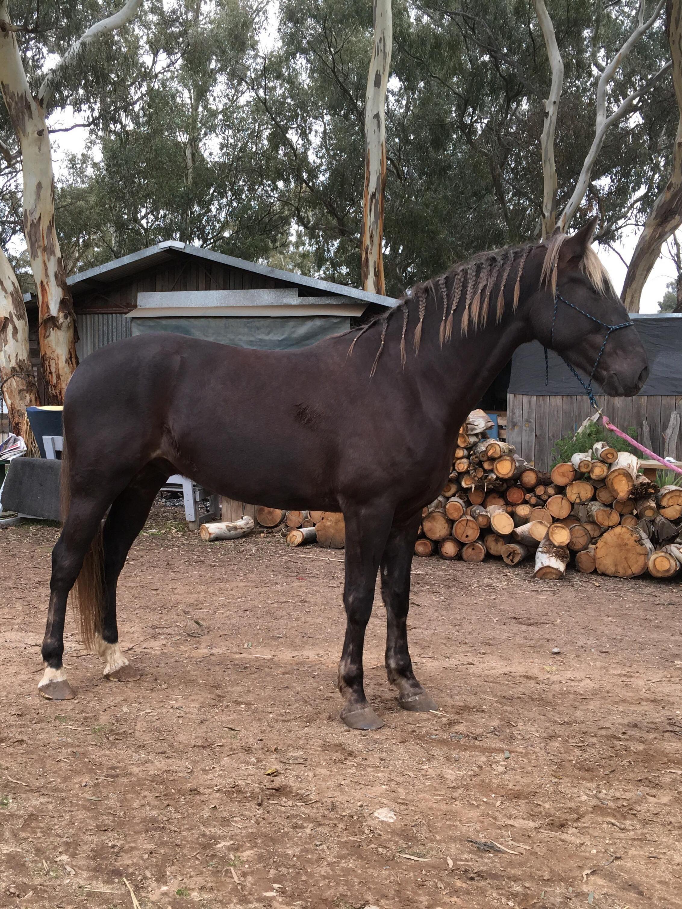 Sterlo, the beautiful Waler foal taken in June 2018