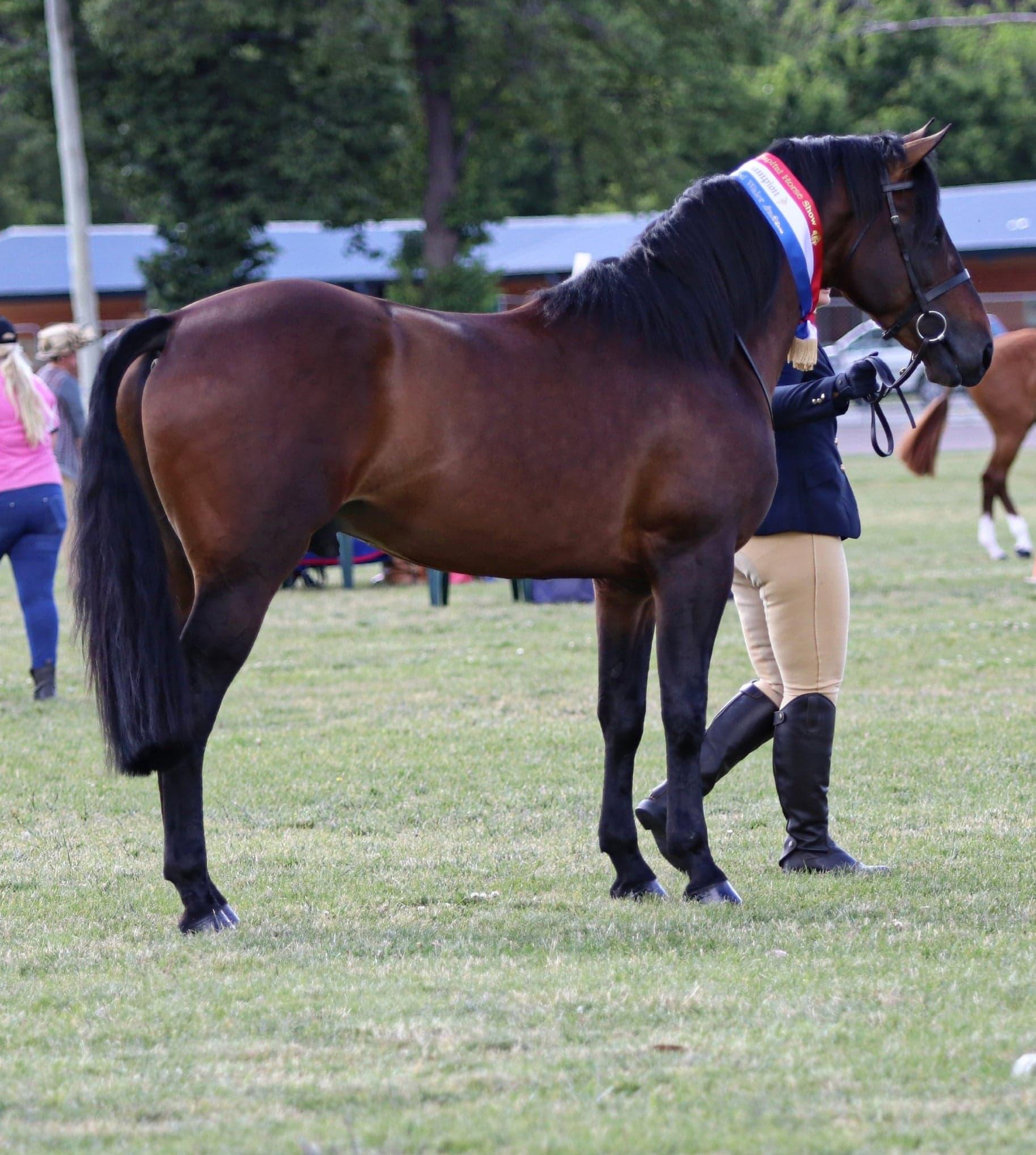 Trublu Trail Blazer, Waler stallion, at Nat Caps (National Capital Horse Show) 2018