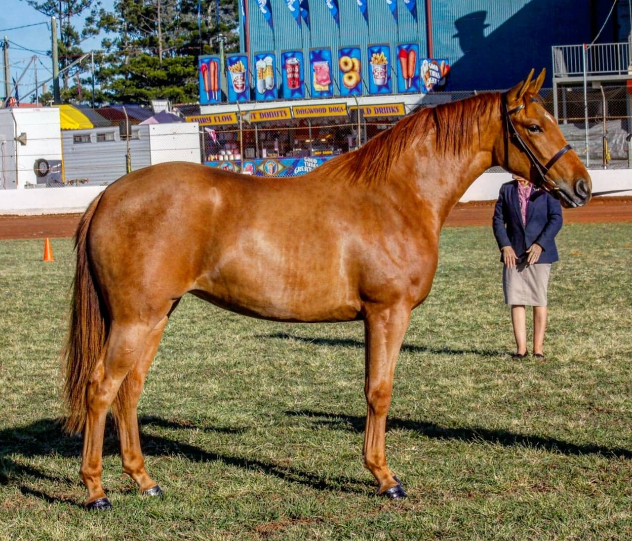 Libby, Waler filly, at Gatton Show 2018