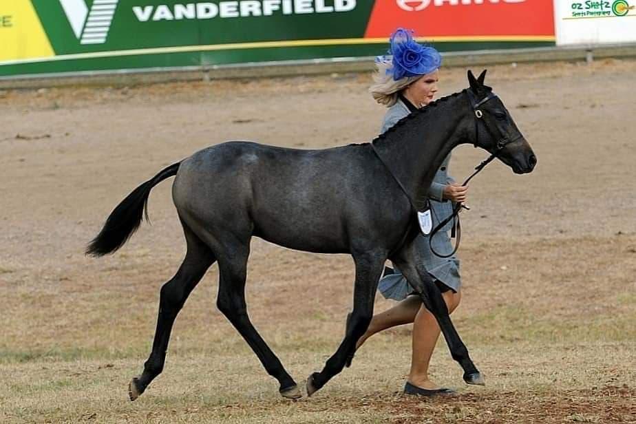 Waler foal colt Pinnacle Celtic Salt