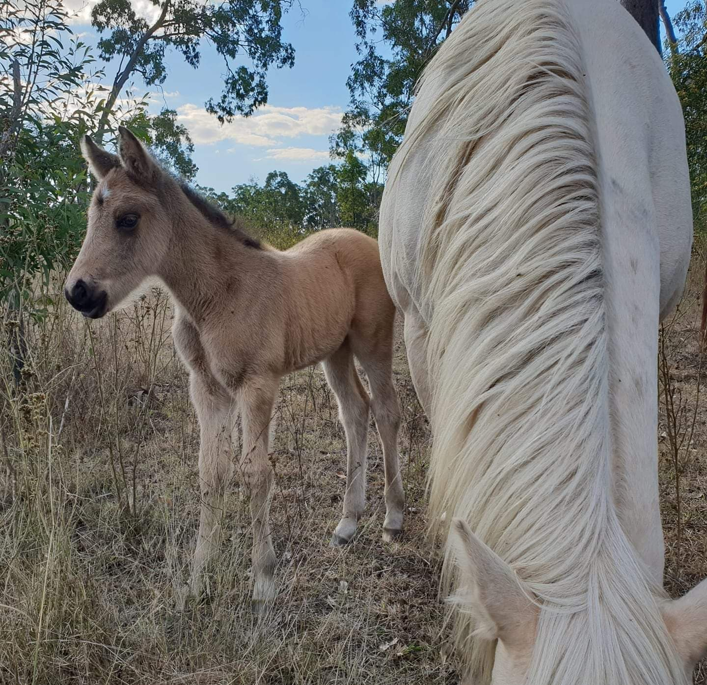 Pinnacle Lucky Charm, Waler filly